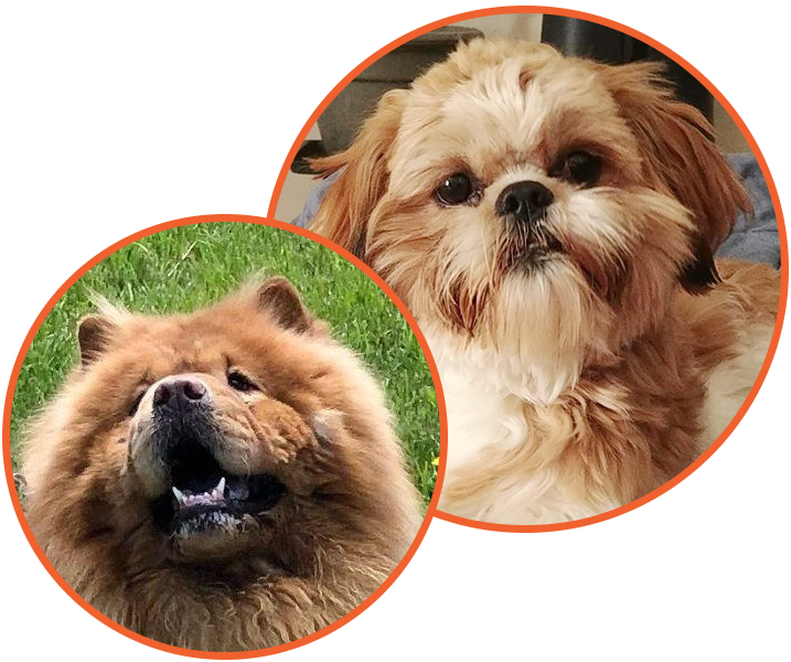 Chow Chow and Shih Tzu